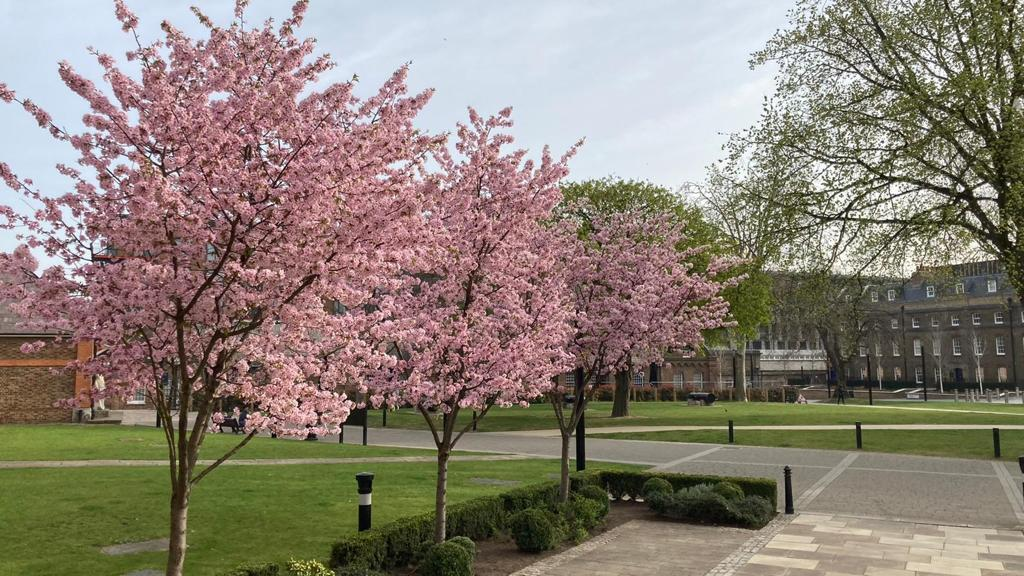 Cherry Blossom at Woolwich and Arsenal