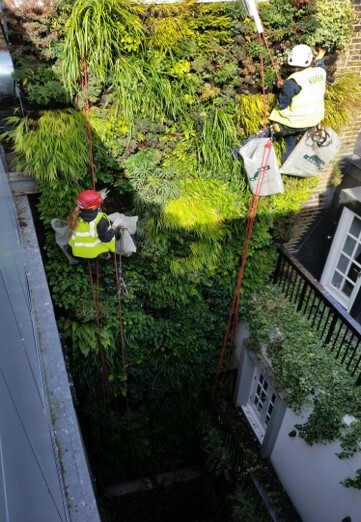 Living Wall Maintenance at The Strand London